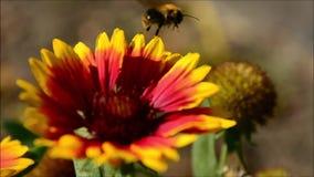 Gaffez - abeille et fleur banque de vidéos