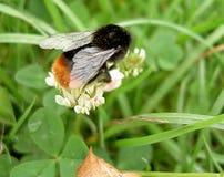 Gaffez l'abeille Photographie stock