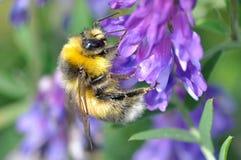 Gaffez l'abeille Images libres de droits