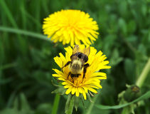 Gaffez l'abeille Photo libre de droits