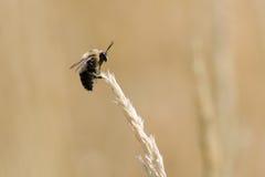 Gaffez l'abeille dans un domaine d'herbe Photographie stock libre de droits