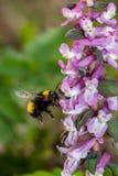 Gaffez l'abeille en vol Photos libres de droits