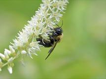 Gaffez l'abeille, plan rapproché sur la fleur Images stock