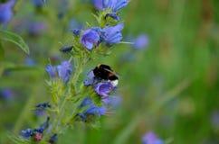 Gaffez l'abeille pollinisent Image stock