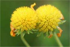 Gaffez l'abeille rassemblant le pollen Image stock