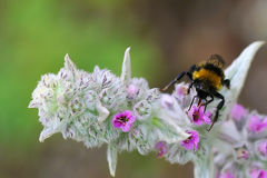 Gaffez l'abeille rassemblant le pollen image libre de droits