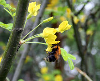 Gaffez l'abeille rassemble le nectar des fleurs d'acacia Photos stock