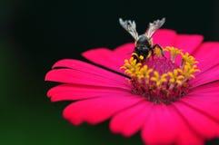 Gaffez l'abeille recueillant Polen de Zinnia Images libres de droits