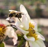 Gaffez l'abeille sur la fleur Image libre de droits