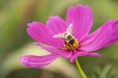 Gaffez l'abeille sur la fleur photos stock