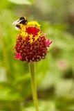 Gaffez l'abeille sur la fleur photo stock