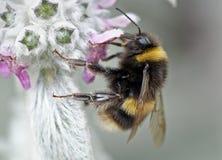 Gaffez l'abeille sur la fleur Photo libre de droits