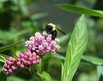 Gaffez l'abeille sur la fleur image stock