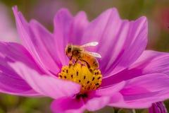 Gaffez l'abeille sur la fleur de source Photographie stock libre de droits