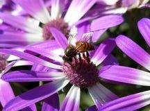 Gaffez l'abeille sur la fleur de source images stock