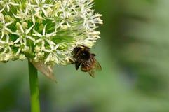 Gaffez l'abeille sur la fleur de source Photographie stock