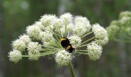 Gaffez l'abeille sur une fleur Image stock