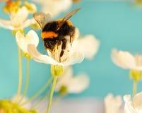 Gaffez l'abeille sur une fleur photographie stock libre de droits