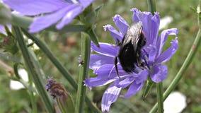 Gaffez l'abeille sur une fleur banque de vidéos