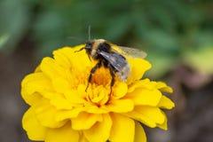 Gaffez l'abeille sur une fleur de souci image stock
