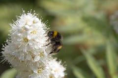 Gaffez l'abeille sur une usine de sorbaria Photos libres de droits