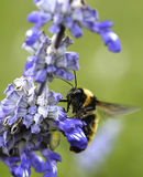 Gaffez l'atterrissage d'abeille sur une fleur Photos libres de droits