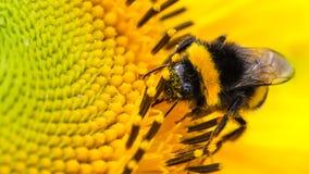 Gaffez le pollinisateur d'abeille rassemblant le pollen sur la face de disque d'un tournesol frais jaune avec des baisses de l'ea photos libres de droits
