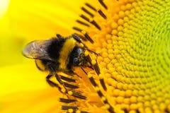 Gaffez le pollinisateur d'abeille rassemblant le pollen sur la face de disque d'un tournesol frais jaune pendant le macro haut ét photos stock