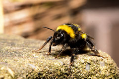 Gaffez le rampement d'abeille Photographie stock libre de droits