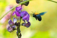Gaffez le vol d'abeille Photo libre de droits