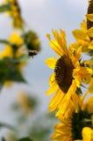 Gaffez le vol d'abeille vers l'usine de tournesol Images stock