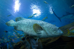 Gag Grouper Stock Image