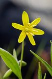 Gagea. Lutea in spring forest stock image