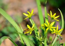 Gagea amarillo brillante en el bosque de la primavera, heraldos de las flores del tiempo caliente fotografía de archivo
