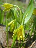 Gagea es flores de la primavera Lutea de Gagea Fotografía de archivo