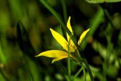 Gagea Fleur Photographie stock libre de droits