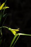 Gagea. Flower. Royalty Free Stock Photos