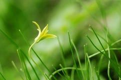 Gagea, kleine gelbe Frühlingsblume in einem grünen Gras Weiche fokussierter Frühlings-Saison-Hintergrund Lizenzfreie Stockfotografie