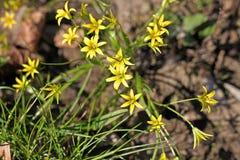 Gagea kwiaty Zdjęcia Stock
