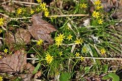 Gagea kwiaty Obrazy Stock