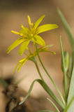 Gagea lutea Stock Images