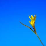 Gagea lutea (Yellow Star of Bethlehem) Stock Images