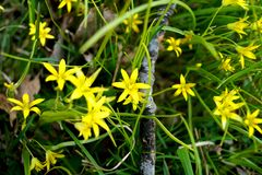 Gagea minima In spring. Gagea minima is a wild flower that blooms in the spring. Least Gagea. Tittle yellow flower is native plant in scandinavia. Photo taken in Stock Photography