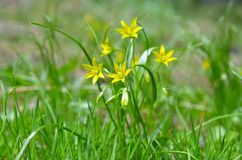 Gagea pratensis, called the Yellow Star of Bethlehem Royalty Free Stock Image