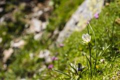 Gagea serotina (Lloydia serotina). Royalty Free Stock Image