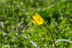 Gagea - uno del primo fiore selvaggio della molla in Ucraina centrale Fotografia Stock