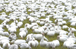 Gaggle 2296. Snow geese Royalty Free Stock Photo