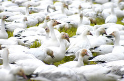 Gaggle 2334. Snow geese Royalty Free Stock Image