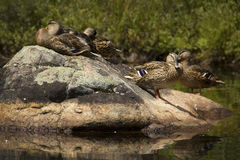 Gaggle of blue-winged teal on rock, Adirondacks, New York. Royalty Free Stock Image