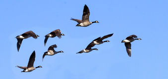 Flying Canada Geese against a Blue Sky Royalty Free Stock Photography